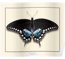 Spicebush Swallowtail Butterfly - Specimen style print Poster