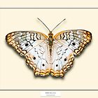 White Peacock Butterfly - Specimen style print by Mark Podger