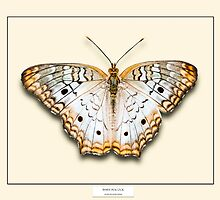 White Peacock Butterfly - Specimen style print by Mark Podger