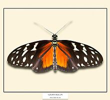 Golden Helicon Butterfly - Specimen style print by Mark Podger
