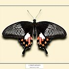 Female Mormon Butterfly - Specimen style print by Mark Podger