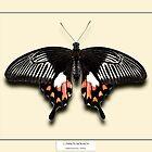 Female Mormon Butterfly - Specimen style print by Mark Podger