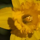 Bright Yellow Daffodil by SerenaB
