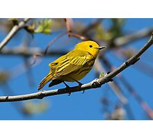 Male Yellow Warbler Photographic Print