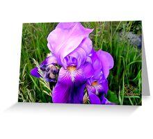 Purple Iris Blossom Greeting Card