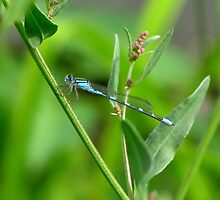 Blue damselfly on green by hummingbirds