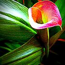 Cala Lily by debbiedoda
