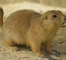 Prairie dog (genus Cynomys) by angeljootje