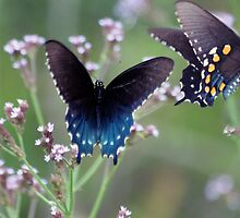 Pipevine Swallowtail x2 by freevette