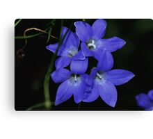 Wahlenbergia gracilis  Canvas Print