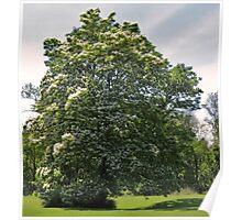 Catalpa Tree Portrait Poster