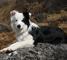 Scottish Border Collie. by John Cameron