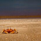 Galapagos Islands - Ghost Crab by Michael Telfer