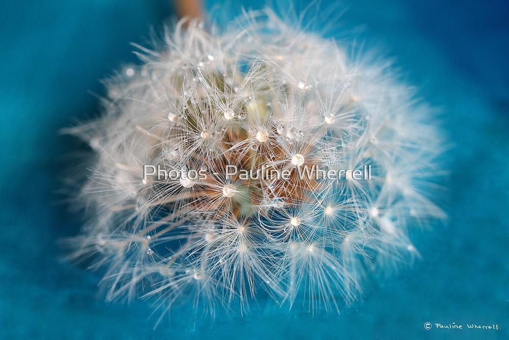 Water droplets on dandelion seedhead by Photos - Pauline Wherrell