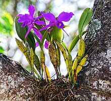 Orchid Growing on a Tree by barnsis