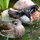 Woodduck couple by Nicole W.
