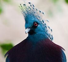 Crowned Pigeon by Tom Horton