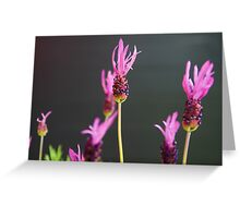 Lavandula stoechas Greeting Card