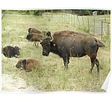 Buffalo with baby bison Poster