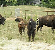 Buffalo Bison Heard by ack1128