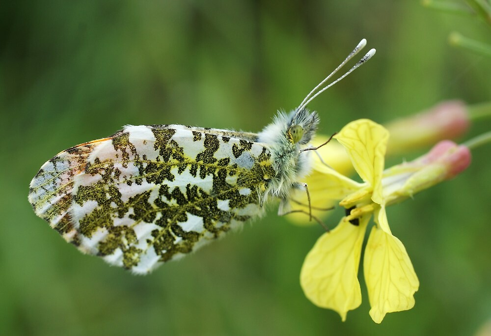 Orange Tip Butterfly by marens