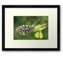 Orange Tip Butterfly Framed Print