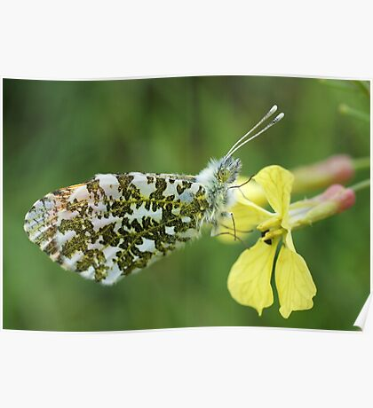Orange Tip Butterfly Poster
