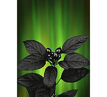 Black Berries and Northern Lights Photographic Print