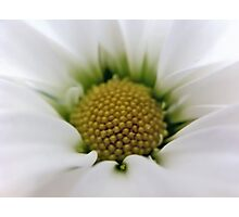 White Daisy Flower Photographic Print
