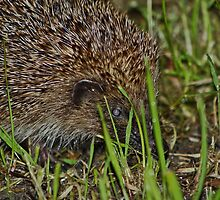 Little Hedgehog.. by Lauren Tucker