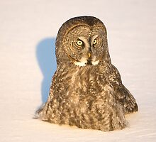 Great Grey Owl Hunting in the Snow by Bryan Shane