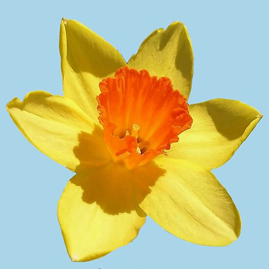 Daffodil Emblem Isolated by taiche