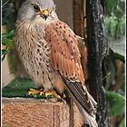 Kestrel (Falco tinnunculus) by alan tunnicliffe
