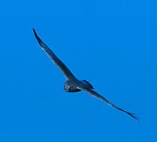 Male Northern Harrier on the Hunt by Bryan Shane