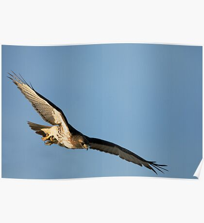 Red Tailed Hawks Swooping down on a Mouse Poster