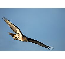 Red Tailed Hawks Swooping down on a Mouse Photographic Print