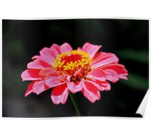 Lonely Zinnia Poster