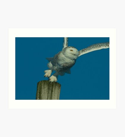 Portrait of Snowy Owl Hunting from a Perch Art Print