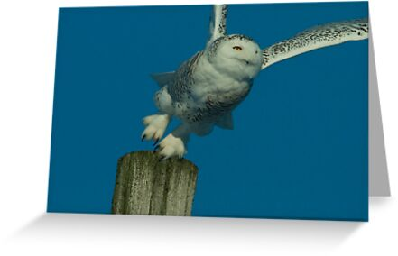 Portrait of Snowy Owl Hunting from a Perch by Bryan Shane