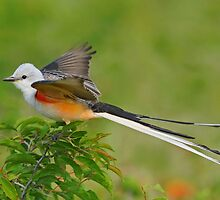 Scissor-tailed Flycatcher by photosbyjoe