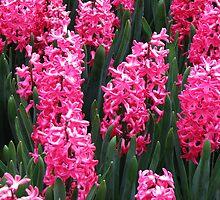Radiant Rose Pink Hyacinths - Keukenhof Gardens by MidnightMelody