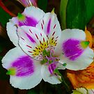 Alstroemeria Flower  by Jonathan  Green