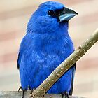 Blue Grosbeak II by Farley