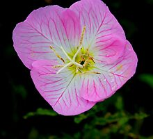 Evening Primrose by freevette