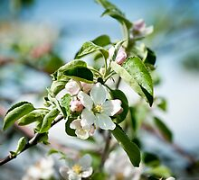 Apple Blossom 1 by Jacinthe Brault
