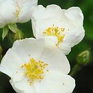 Wild White Roses by lorilee