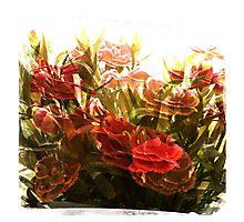 Dancing Dianthus Photographic Print