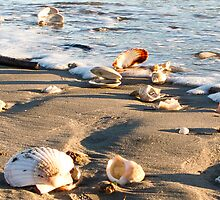 seashells by Anne Scantlebury