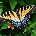 Eastern Tiger Swallowtail by Kathy Baccari