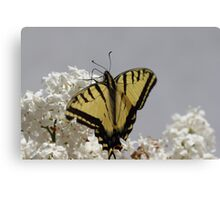 Western Tiger Swallowtail Macro Canvas Print
